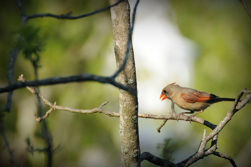And this female cardinal was staking out the feeder too.
