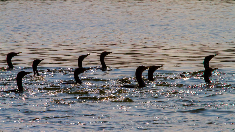 A procession of Cormorants