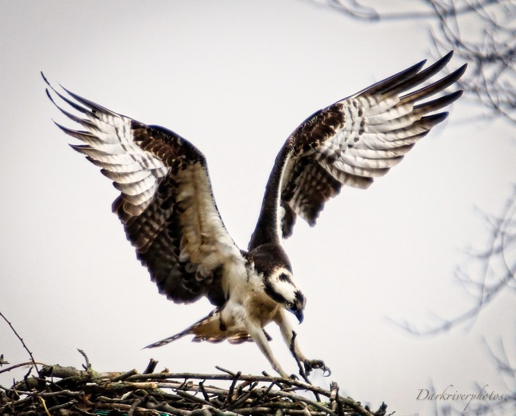Osprey Landing On Nest-2.jpg