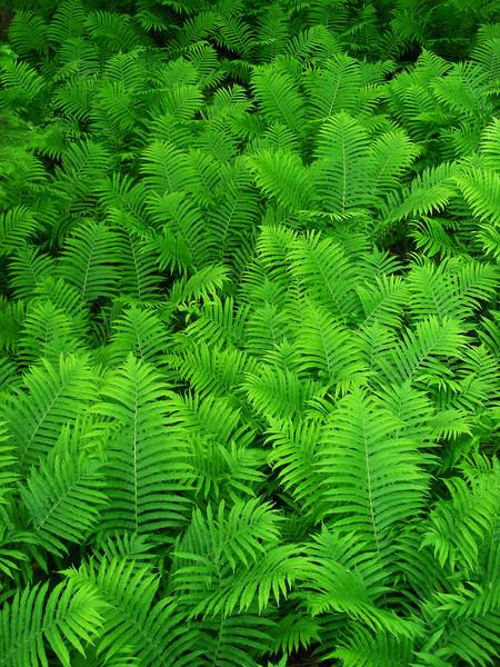 Requisite fern shot from Upper Falls walkway.