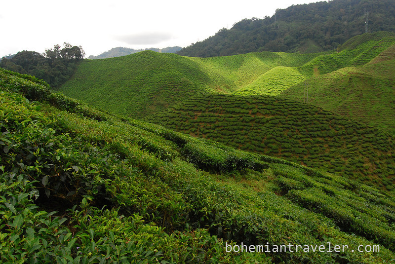 Cameron Valley Tea fields [Bharat] (2).jpg