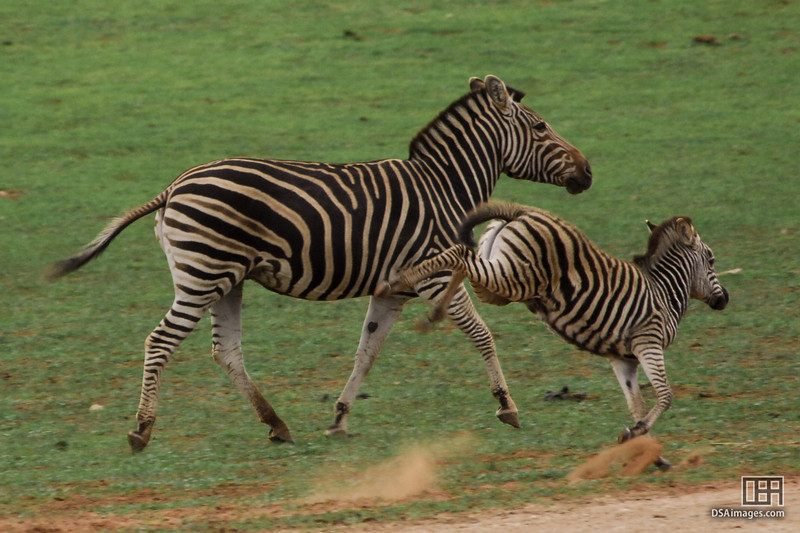 Zebra and Foal at the Monarto Zoo