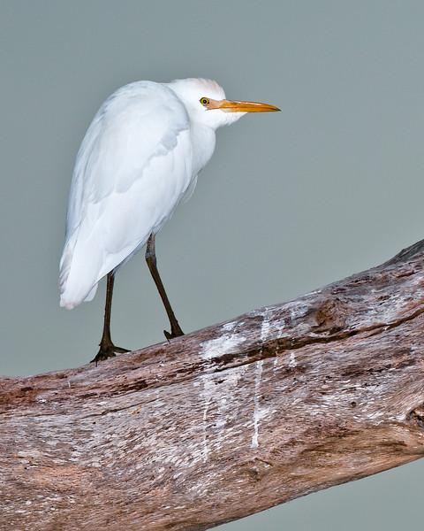 Cattle Egret.1.jpg