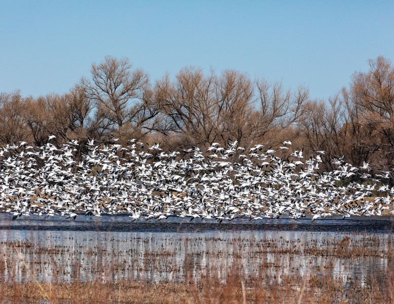 A mid-afternoon flock of wintering snow geese (Anser caerulescens).  Bosque del Apache National Wildlife Refuge, San Antonio, New Mexico.  This goose breeds north of the timberline in Greenland, Canada, Alaska, and the northeastern tip of Siberia, and spends winters in warm parts of North America from southwestern British Columbia through parts of the United States to Mexico.   The snow goose is listed as 'Least Concern' by the International Union for Conservation of Nature due to its wide distribution and abundance throughout North America, southwards through Mexico, and into Central America.