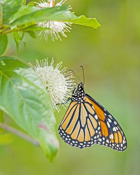 Monarch Butterfly on Button Bush