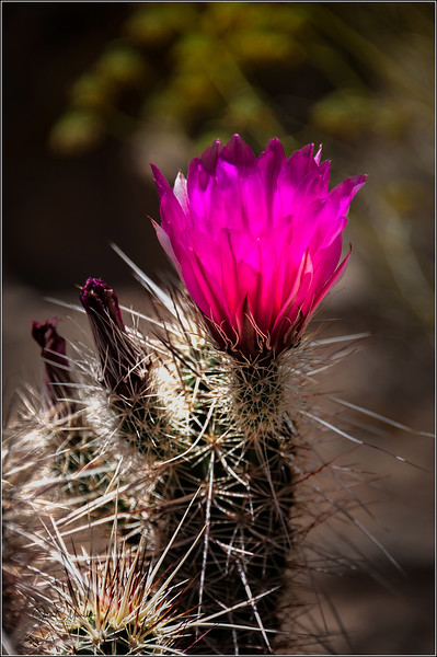 JZ6_1983 Cactus Flower LPNW.jpg