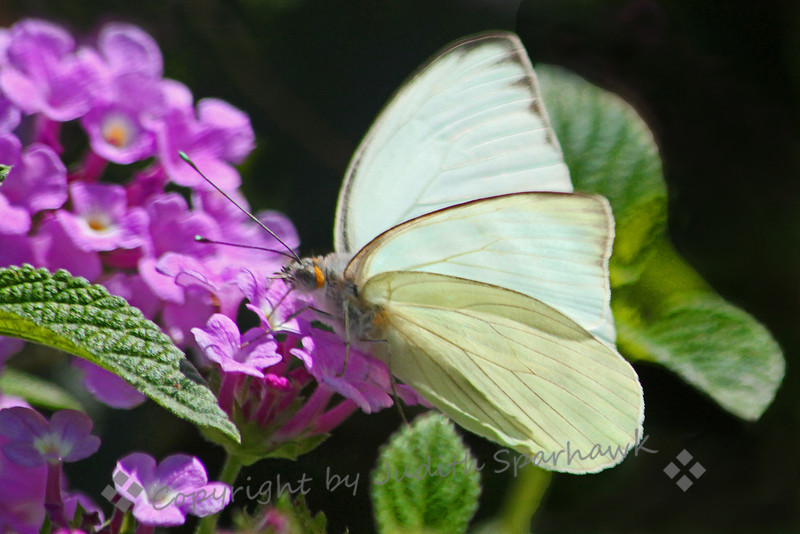Great Southern White on Purple.jpg
