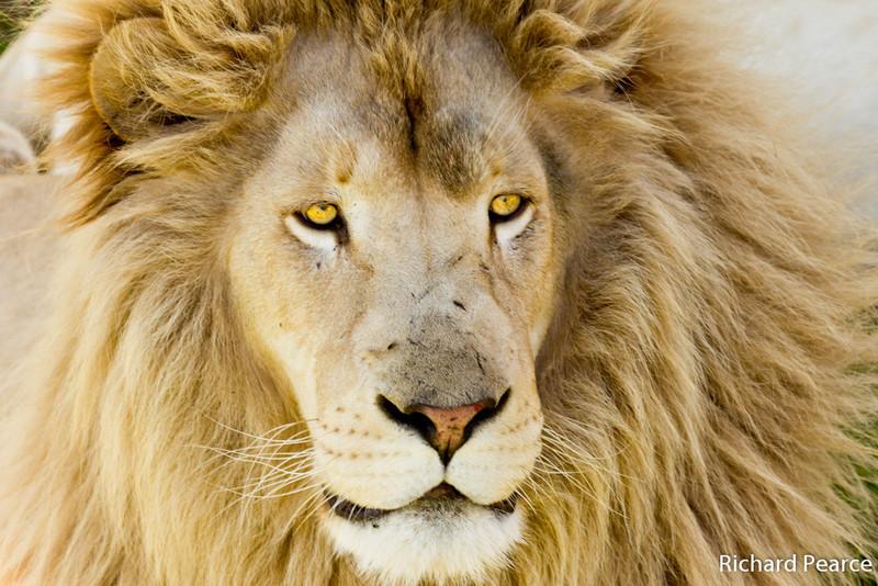 PEC-PearR-B3-Lion Portrait.jpg
