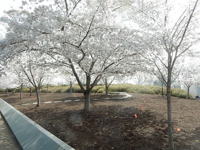 March 2019 Cherry blossoms in Washington DC