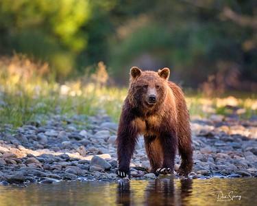 Canadian Grizzlies