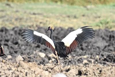 A 13 Cranes-Kraniche