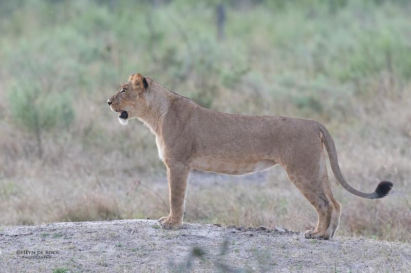 African Lion, Savuti, Chobe NP, Botswana, May 2017-38.jpg