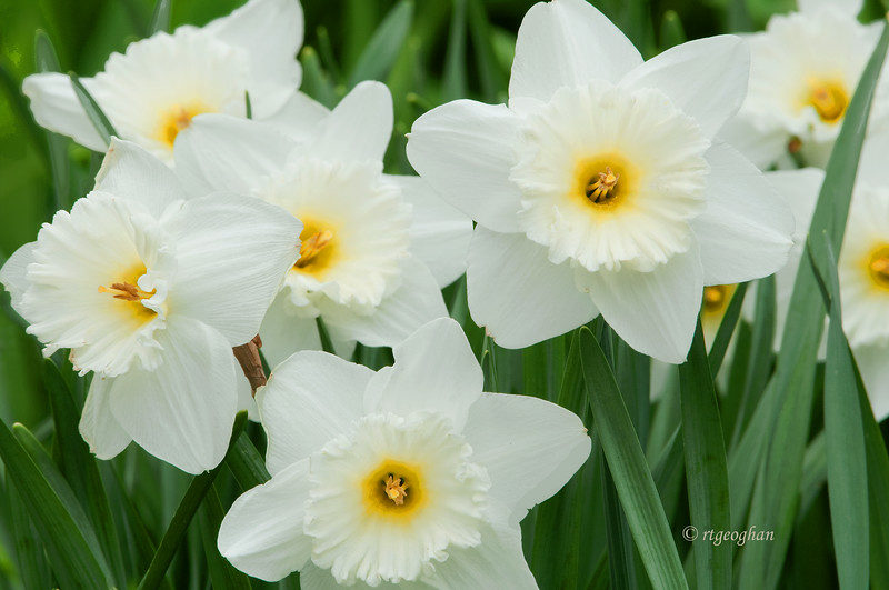 April 15_Daffodils_1483.jpg