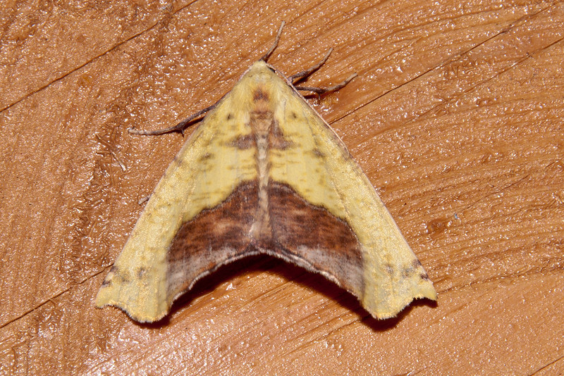 Yellow Moth - Sharp-lined - Dunning Lake - Itasca County, MN