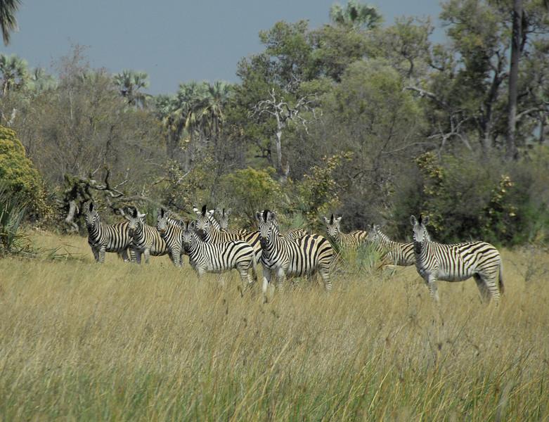 EPV0567 A Dazzle of Zebra.jpg