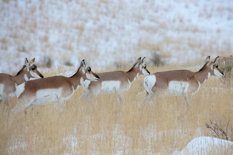 387A9408 Pronghorns.jpg