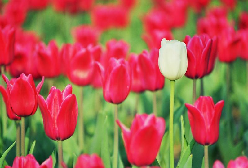 2001 Spring Ilsan Korea tulips.jpg