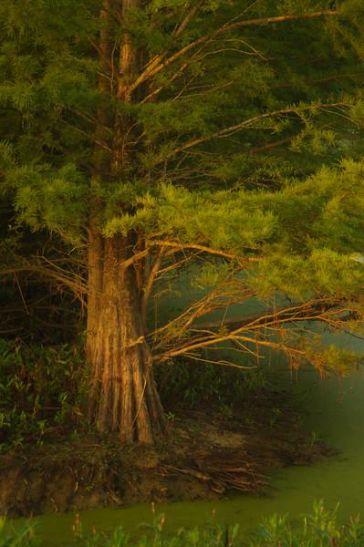 Carol tree.jpg