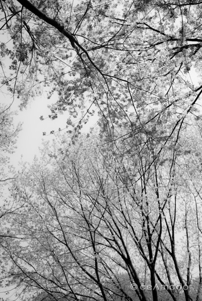 """Greening Maples"" _DSC0309aeamador©-MDSC"