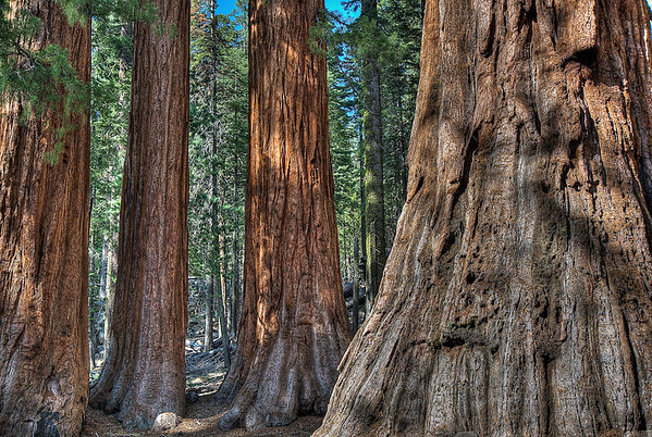 Gentle Giants of Mariposa Grove