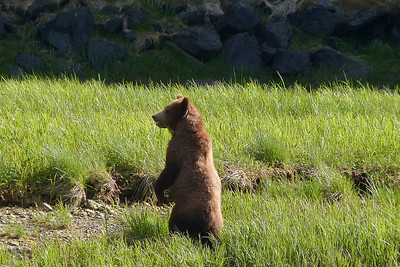 Brown Bear Cub Standing June 2014, Cynthia Meyer, Chichagof Island, Alaska