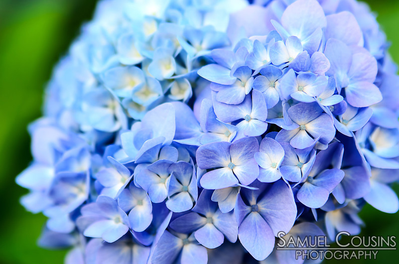 A close up of hydrangea flowers,