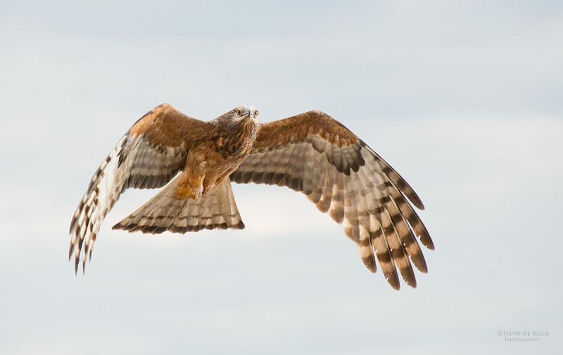 Square-tailed Kite, West Nowra, NSW, Jul 2014-1.jpg