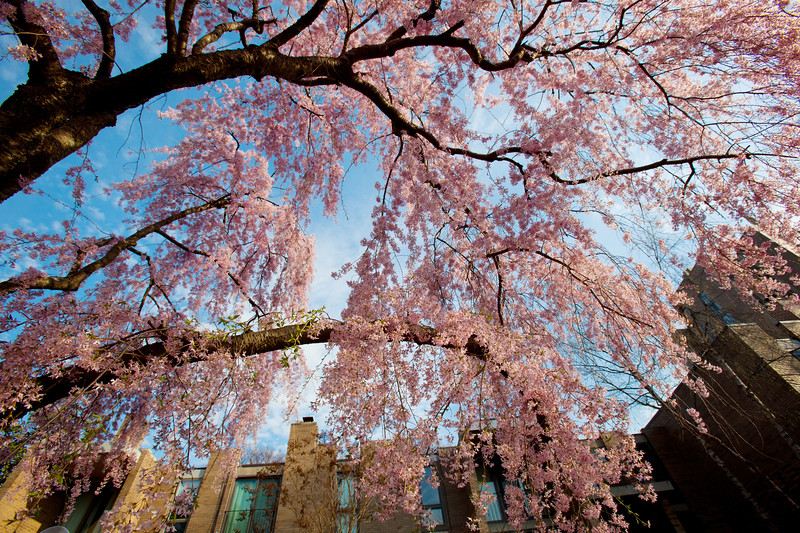Weeping cherry blossoms at Washington Plaza Cluster