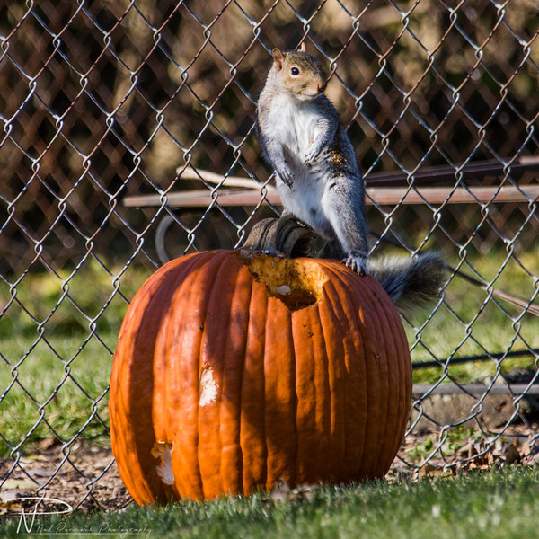 Pumpkin Squirrel-2.jpg