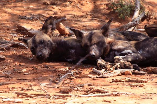Wild Dog Mara North Kenya 2010