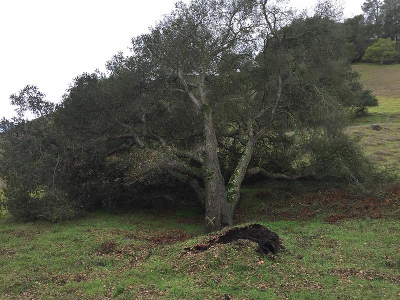 Fallen wild oak tree on utility right of way