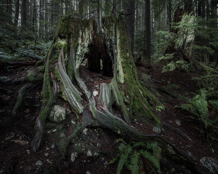 Lynn Canyon_Hollow Stump_HR_1-.jpg