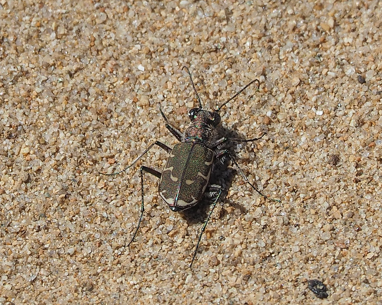 Bronzed Tiger Beetle - Cicindela repanda