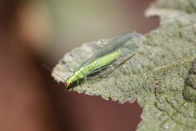 Lacewing (Neuroptera)