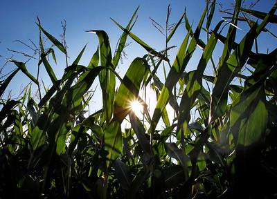 20150821 - GMOs Corn (MA)