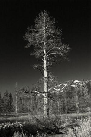Tree in Lake Tahoe.jpg