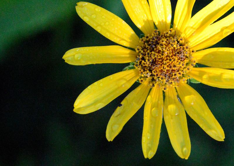 Sunflower-dew-firstlight.jpg