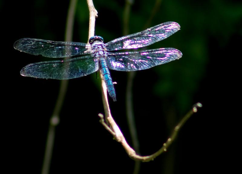 _MG_9783_Dragonfly copy.jpg