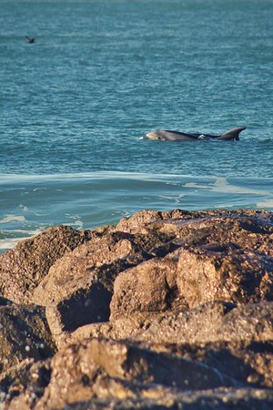 Surf with Dolphins - San Buenaventura Beach