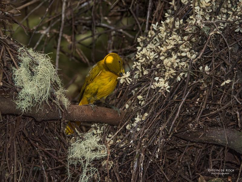 Golden Bowerbird, Atherton Tablelands, QLD, Dec 2014-2 copy.jpg