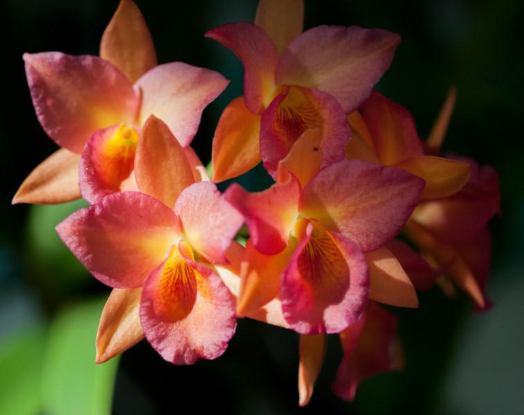 orange-pink orchid