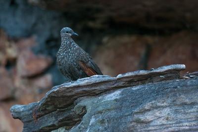 Chestnut-quilled Rock Pigeon (Petrophassa rufipennis)