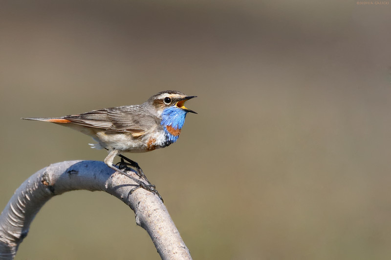 Bluethroat singing