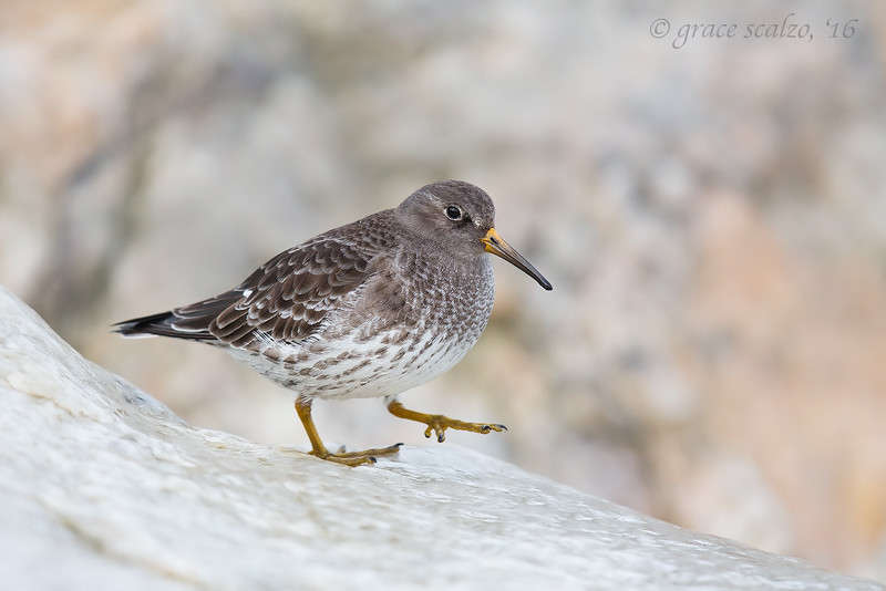 Purple Sandpiper Stepping out