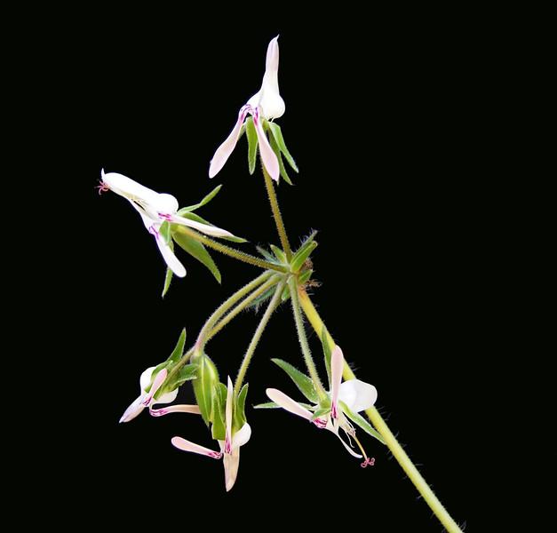 Pelargonium rapaceum flower