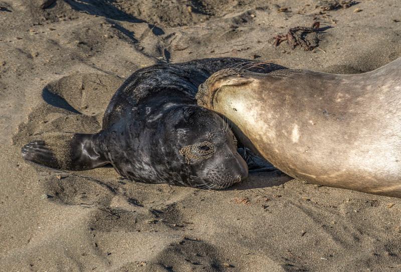 Elephant Seals_San Simeon-4.jpg