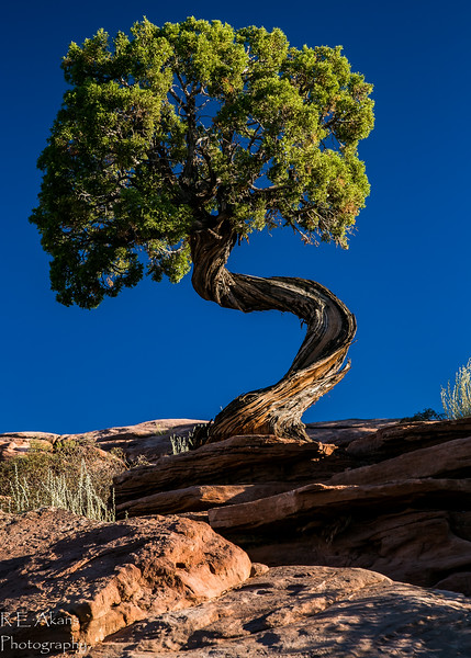 Twisted Juniper 0224-2.jpg