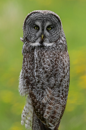 6-14-17 Great Gray Owl 752