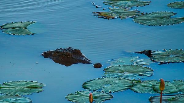Peek a boo says the crocodile
