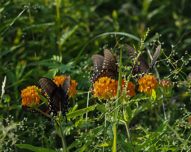 Spicebush & Tiger Swallowtails